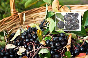 aronija antioksidans slobodni radikali